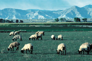 NRCS Sheep