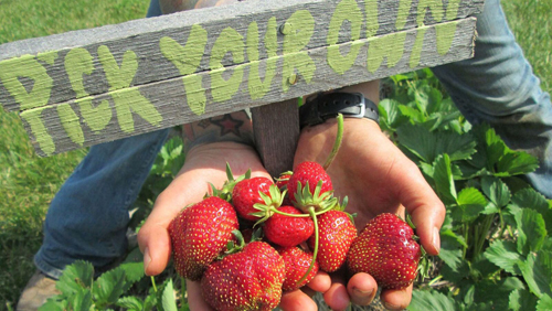 Hands holding handful of strawberries