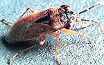 Big Eyed Bug Adult
