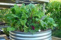 Aquaponic vegetable bed in Australia.