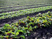 rows of swiss chard