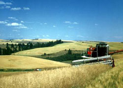 Harvesting canola (rapeseed) for oil