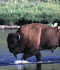 bison walking in water