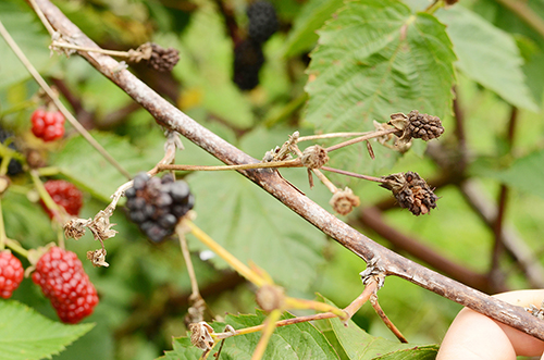 anthracnose on blackberry