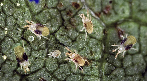 twospotted spider mite adults