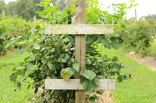wooden t-trellis, blackberry cane support