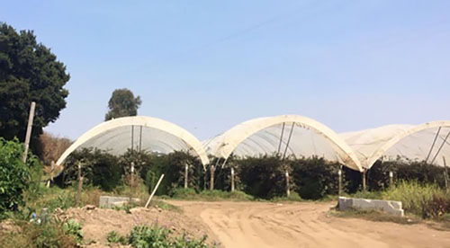 multi-bay high tunnels for bramble production, California
