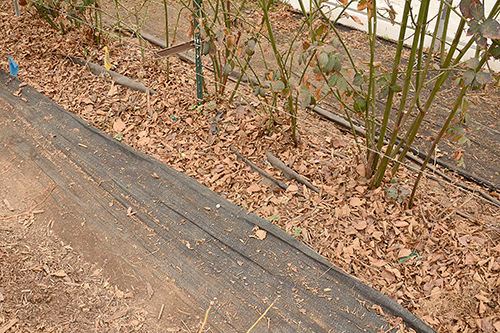 A heavy-duty weed-barrier fabric is used on either side of a high tunnel blackberry planting to suppress weeds.