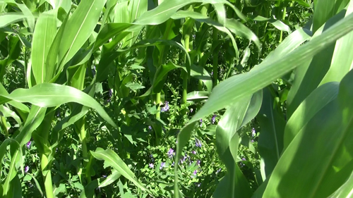 No-till corn underseeded with hairy vetch