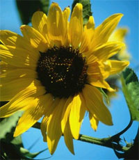 Sunflower, courtesy of ClipArt.com