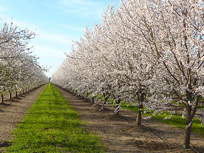 California almond orchard in bloom