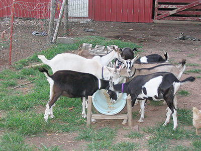 feeding trough, goats and sheep