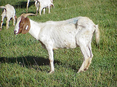 goat suffering from coccidiosis