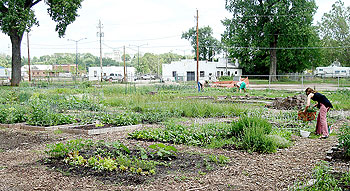 A woman tends to a plot in a community garden.
