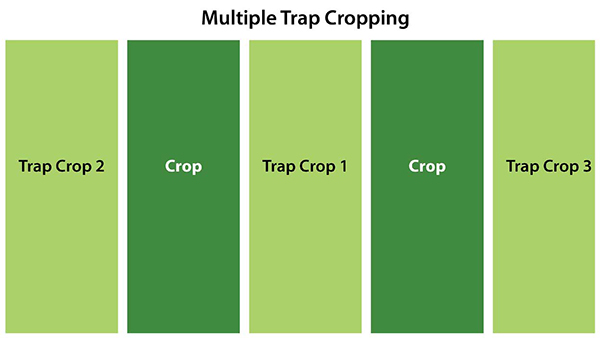 multiple trap cropping