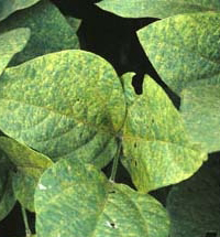 asian_soybean_rust.jpg