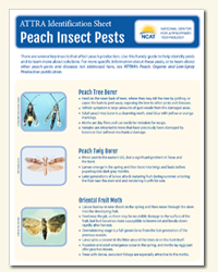 peach_insects_diagnostic_key.png