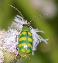 Banded cucumber beetle.