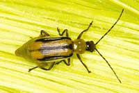 Adult western corn rootworm.