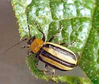 Striped cucumber beetle.