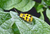 Western spotted cucumber beetle.