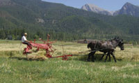 Percherons pulling an antique grain binder.