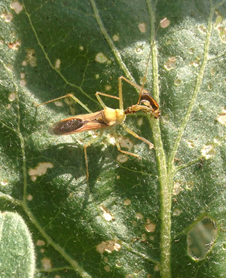 Assassin bug praying on a flea beetle