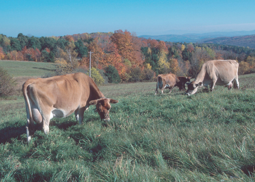Jerseys grazing cool-season pasture.