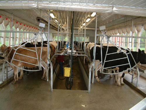 New Zealand Style Milking Parlor