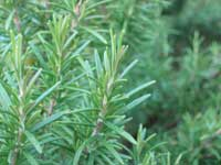 Rosemary is raised as potted specimen shrubs, and managed quantitatively over the years by reducing plants to the required numbers.