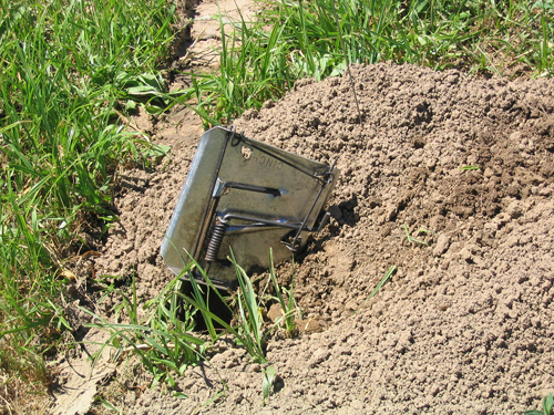 Cinch trap placed in a burrow