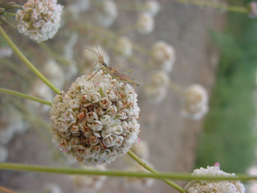 Assassin bug on California Buckwheat