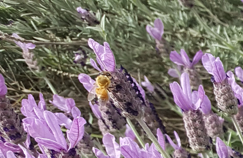 Bee on Lavender blooms