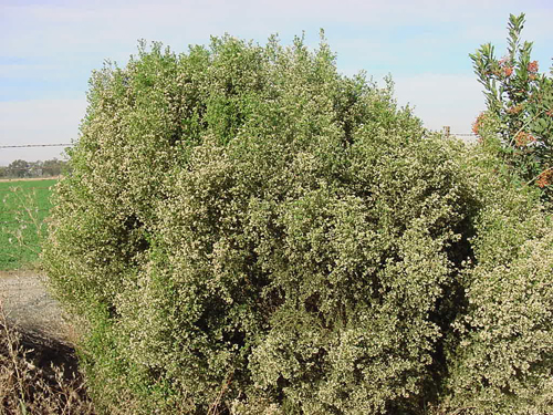 Coyote bush in bloom