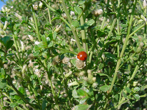 Lady bird beetle on female coyote bush flower