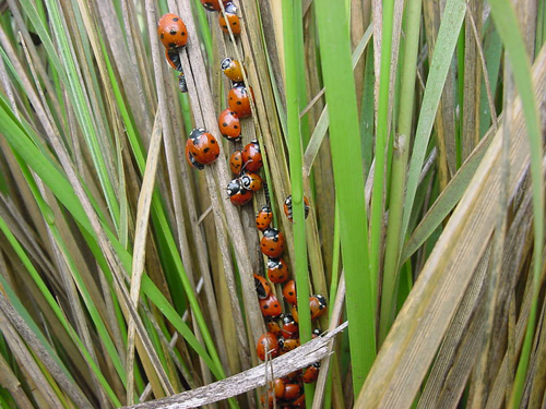 Lady bird beetles overwintering in deer grass