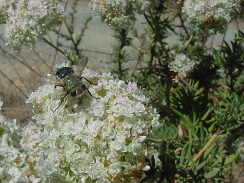 Tachinid fly on California buckwheat