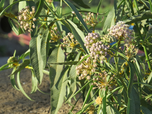 Close up of narrowleaf milkweed flowers in bloom