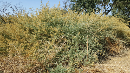Saltbush in full bloom