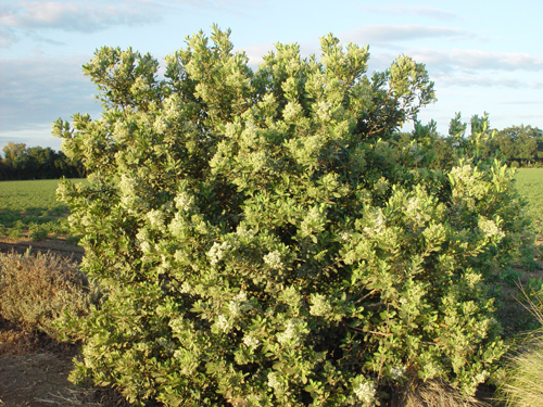 Toyon in bloom