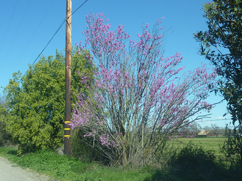 Redbud in bloom in early spring