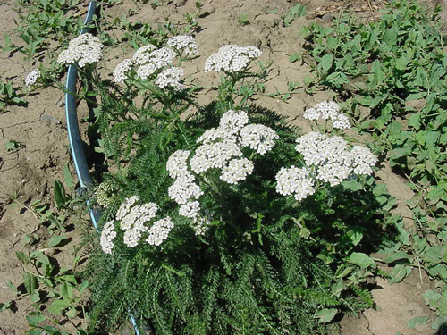 Yarrow plant in bloom