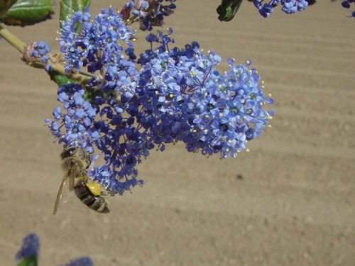 Honey bee gathering nectar and pollen from early spring ceanothus bloom
