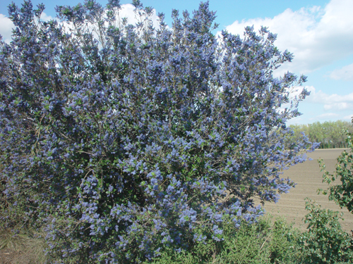 Ceonothus in full bloom