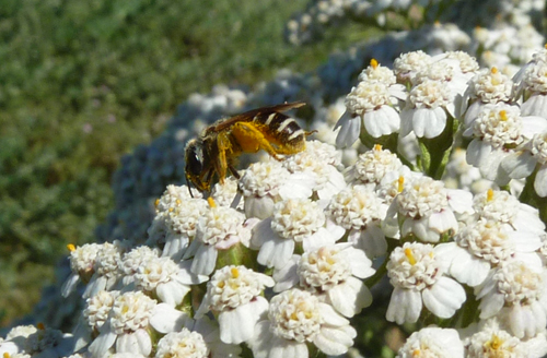 Close up of Native bee on Yarrow