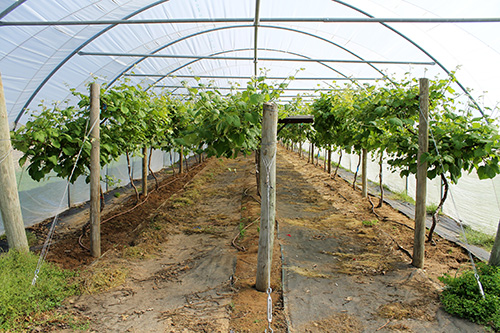 Landscape fabric is used to eliminate weeds in the walkways, with cultivation used in the planting rows