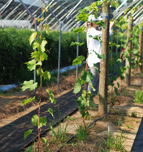 Young grape vines in the high tunnel at Barnhill Orchards