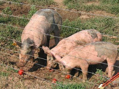 hogs eating veggies
