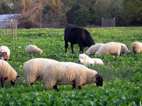 multispecies grazing fall turnip pasture