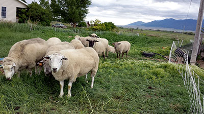sheep in garden
